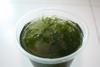 Süßwassertang (freshwater Seaweed) Closeup