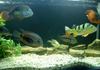 Cichlid Collection