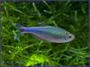 Blue Tetra male