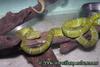 Tropidolaemus wagleri