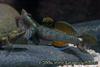 Rhinogobius duospilus male