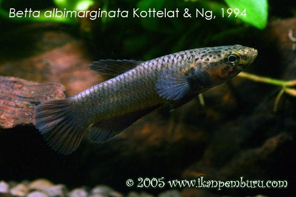 Betta albimarginata, Female