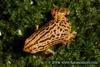 Kalophrynus interlineatus