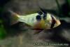 Papiliochromis ramirezi, Female