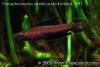 Parosphromenus ornaticauda