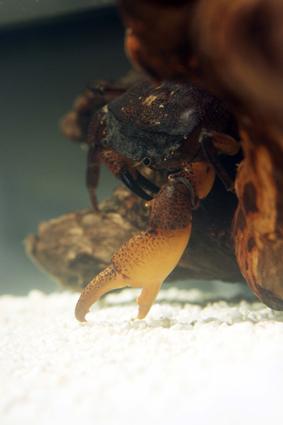 Some Freshwater Crab