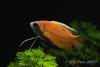 Trichogaster chuna - Dwarf honey gourami