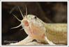 Misgurnus anguillicaudatus - Weather Loach