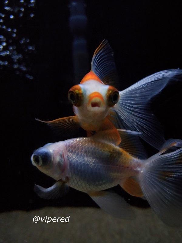 Telescopic Goldfish
