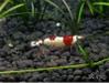 Crystal Red Shrimp -- Hinomaru