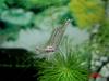 Indo Shrimp