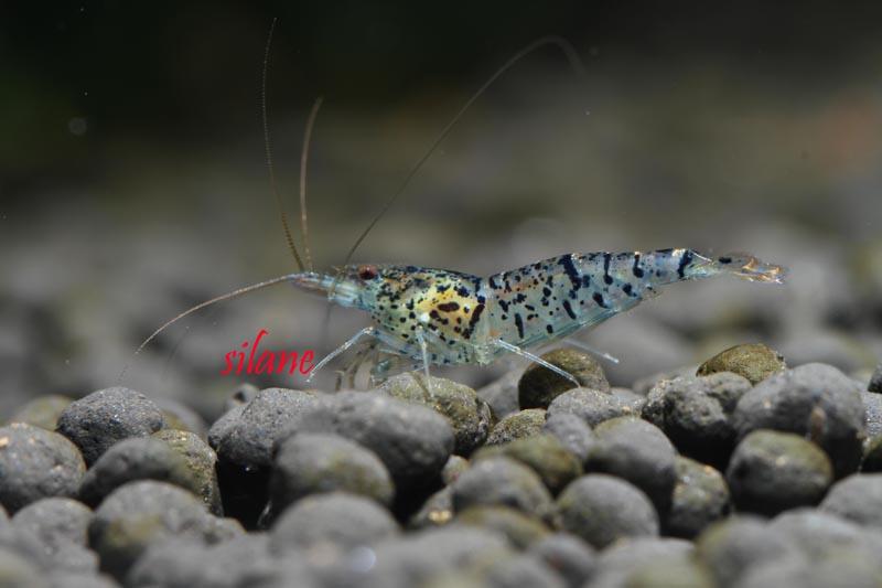 Ocelot Shrimp