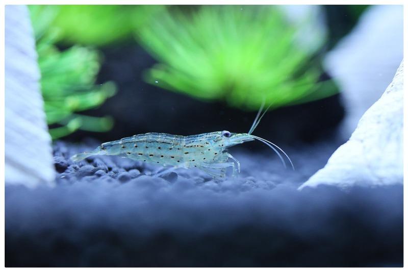 My Yamato shrimp