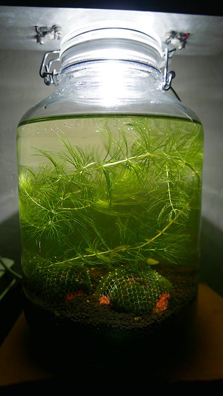 Limnopilos Naiyanetri (Thai Micro Crab)