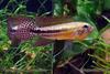 Ap. paucisquamis-male