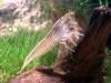 Woodshrimp [Atyopsis moluccensis]