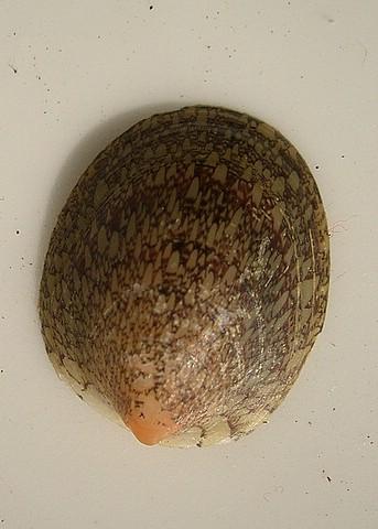 Septaria porcellana [Linnaeus, 1758]