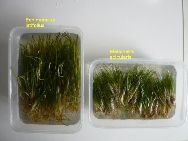 Hairgrass