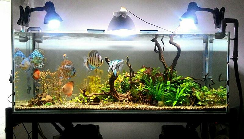 Low tech planted discus tank