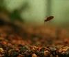 Baby Barbus fasciolatus