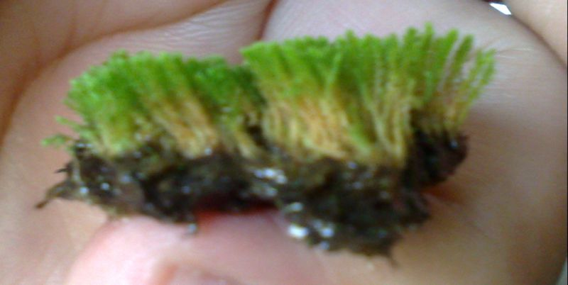 Moss Collect1