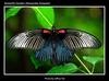 Jeffrey Tan's butterfly pic