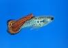 Aquarama 07 - winning guppy
