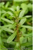 Emersed Ammannia gracilis