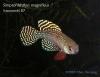 Simpsonichthys magnificus