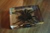 Encased spider