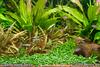 Cryptocoryne parva lawn