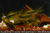 """Corydoras sp. cf. aeneus """"Peru Goldstripe"""""""