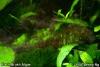 Black Brush Algae BBA