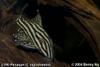 L190 Panaque cf. nigrolineatus
