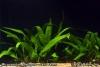 Microsorium pteropus Java Fern