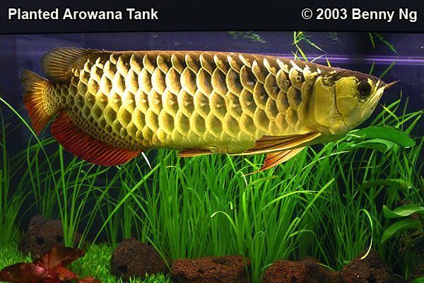 Planted Arowana Tank
