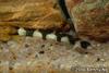 Unidentified loach