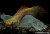 Red Goby