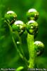 Riccia fluitans
