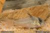 Corydoras kanei