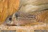 Corydoras agassizii