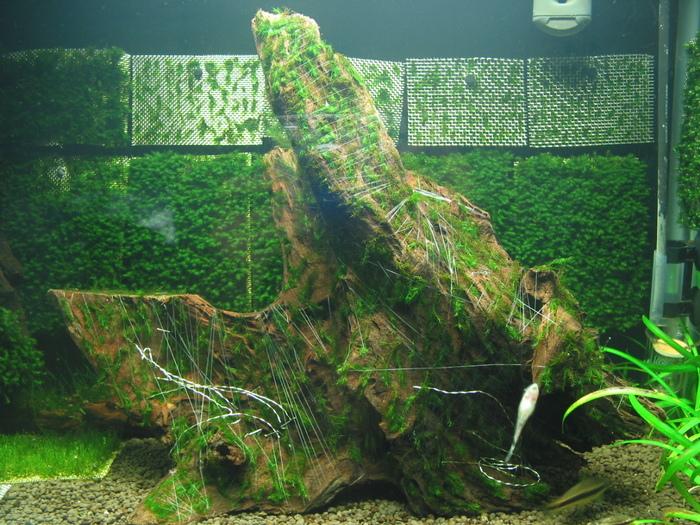 Past Fissidens tank - Memories