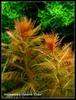 """Proserpinaca Palustris """"Cuba"""""""