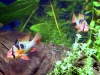 Microgeophagus ramirezi (parents with frys)