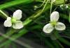 Sagittaria subulata (flowers)
