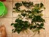 wts plants cryptcoryne anubias