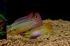 Pelvicachromis taeniatus 'Moliwe'