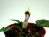 Cryptocoryne schulzei's flower