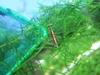Red Line Shrimp