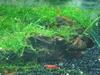 Shrimp ID